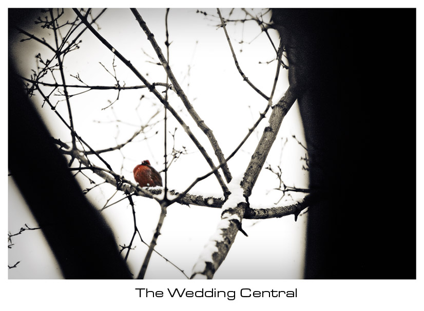 Cardinal Photo on tree during winter